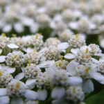 Yarrow – The Plant That Made Achilles Invincible