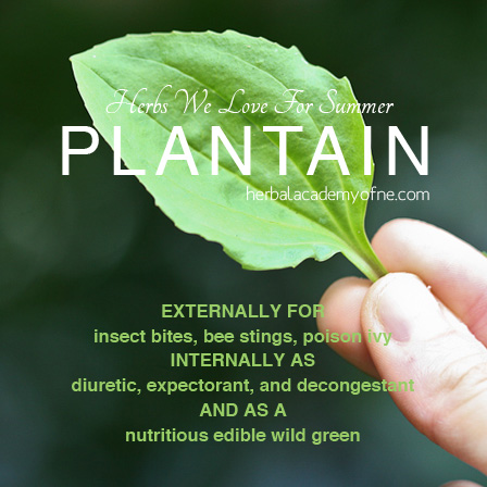HERBS we love for summer, PLANTAIN