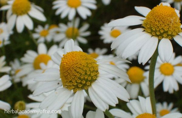 chamomile - herbs for treating anxiety