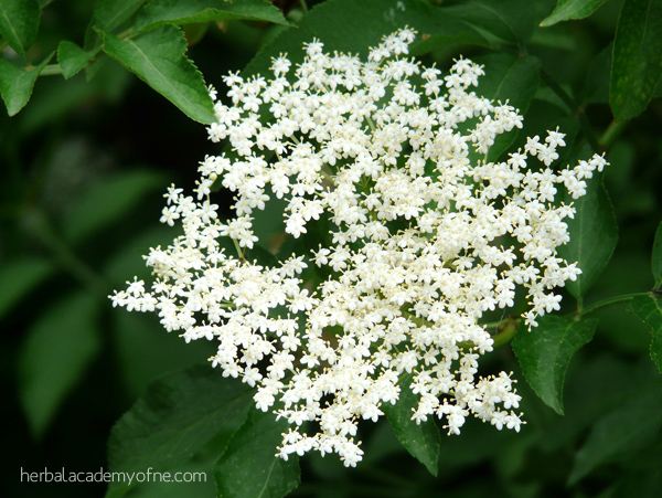 Elder Flower - Remedies for Allergy Season