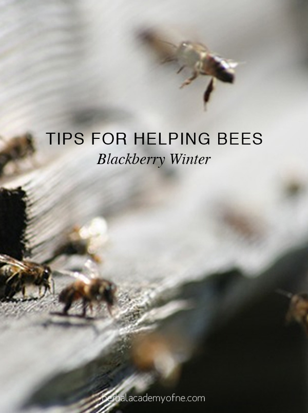 Blackberry Winter - Tips For Helping Bees   Herbal Academy   A sudden cold snap (blackberry winter) can damage flowering herbs and plants. Here are tips to ensure a continuous nectar flow for the garden and honeybees.
