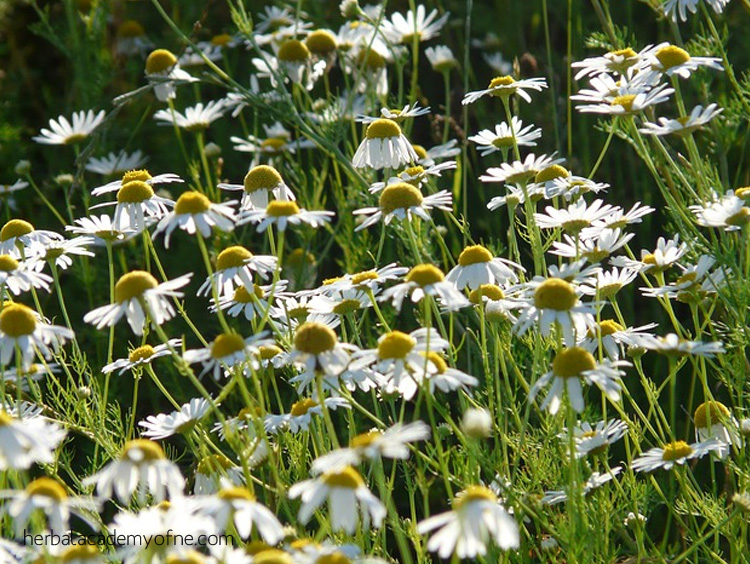 Chamomile - Herbal remedies for headache relief