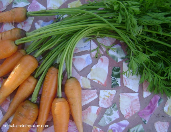 Late-Gardening-Root-Vegetables-Herbal-Academy-of-New-England