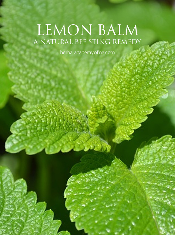 Lemon Balm as a natural bee sting remedy - Herbal Academy
