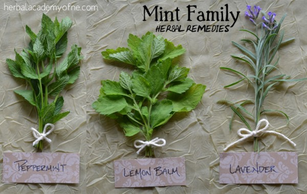 Herbal Academy Herbal Remedies The Medicinal Mint Family