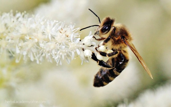 Five Fun and Fascinating Facts about Honey Bees, Herbal Academy of New England