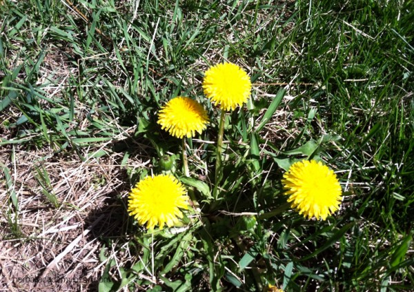 Harvesting Dandelion Root by the Herbal Academy of New England