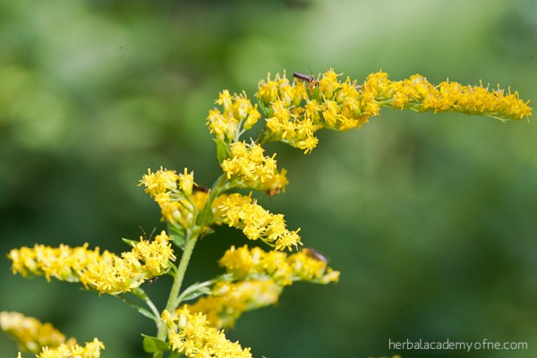 Health Benefits of Goldenrod by the Herbal Academy of New England