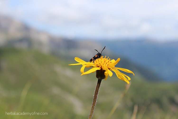 Mountain Medicine: Yarrow and Arnica Uses | Herbal Academy | Yarrow and arnica tinctures and oils are great mountain medicine remedies to add to your first aid kit. Knowing how to use them is incredibly empowering!