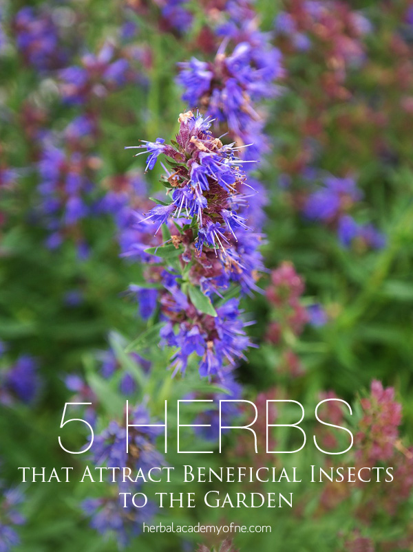 5 Herbs that Attract Beneficial Insects to the Garden - Herbal Academy