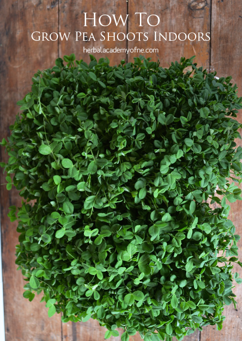 How to Grow Pea Shoots Indoors - by the Herbal Academy of New England