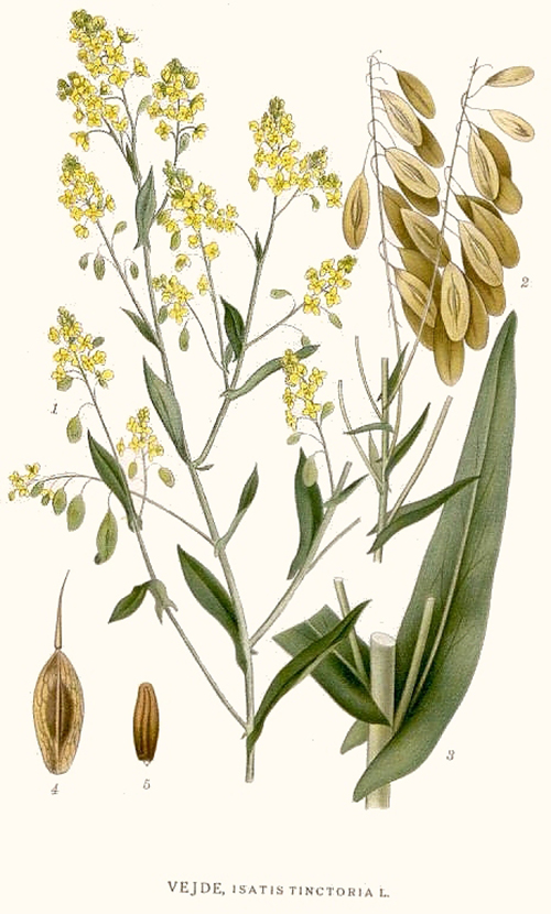 Using Woad As A Natural Flu Remedy