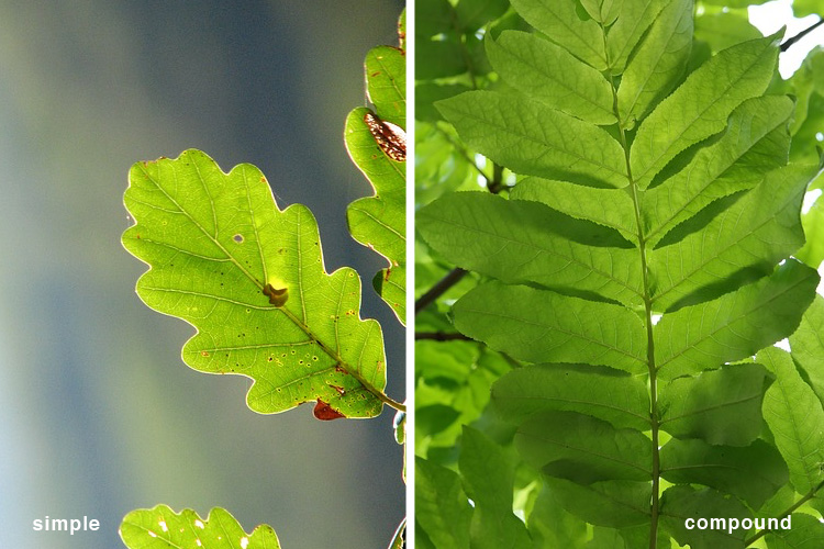 Simple vs Compound Leaves - Learning Herbs for Kids