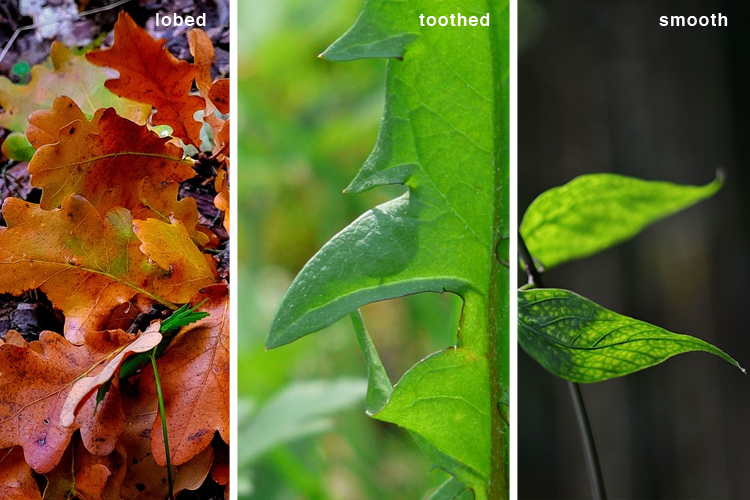 There are many Leaf Margins - Learning Herbs for Kids