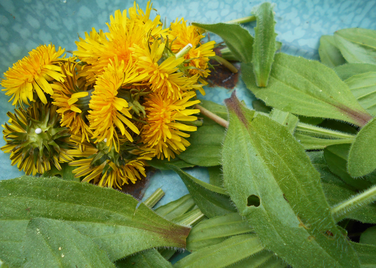 Foraging in the Backyard and Skin Care Recipes