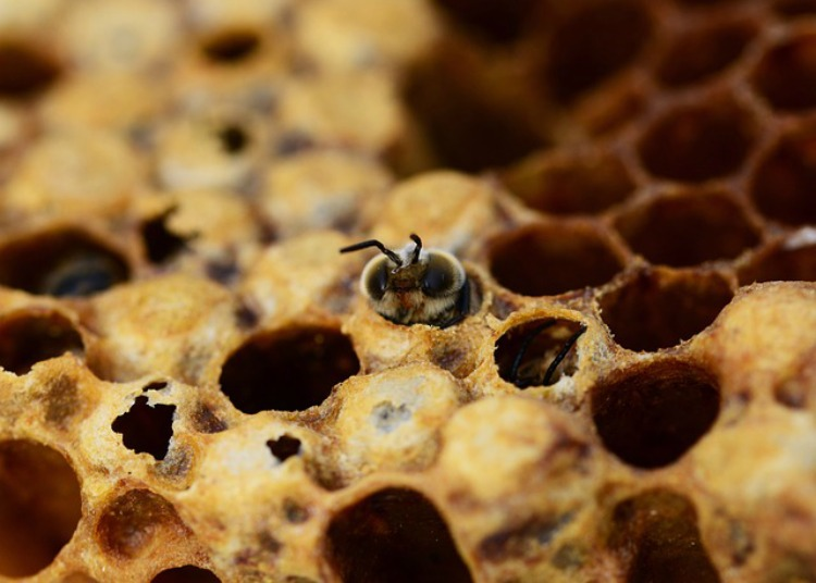 Honey bee in honey comb