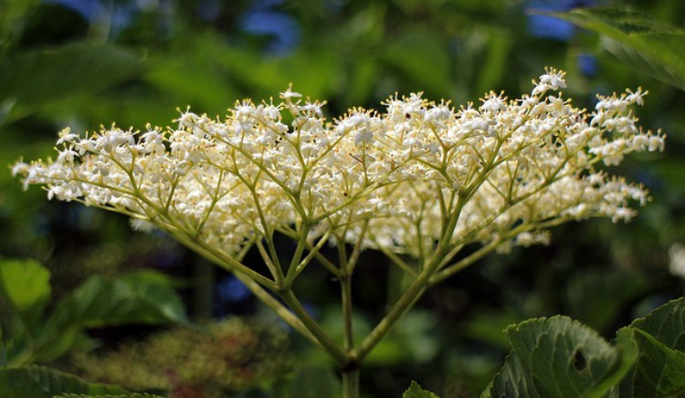 Allergy Home Remedies For Families: Elderflower