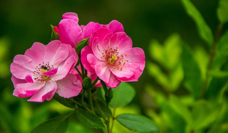 Allergy Home Remedies For Families: Rose
