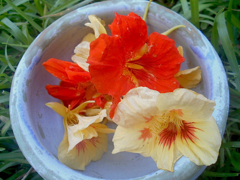 Three Nasturtium Recipes for Summer and tips for harvesting and preservation
