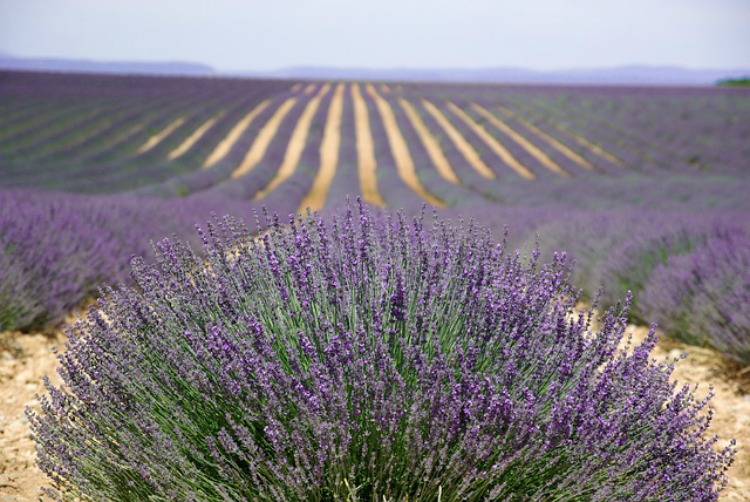 The Benefits Of Lavender: Emotional Support