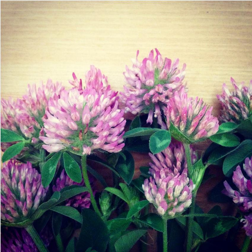 Red Clover Blossoms uses and musings
