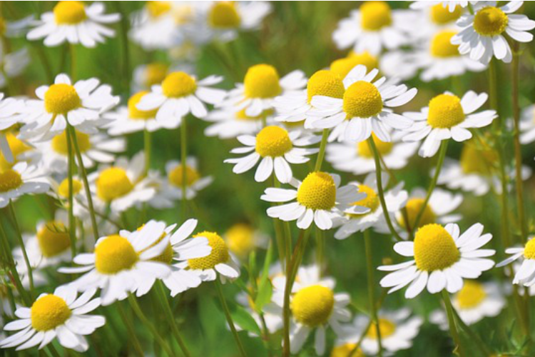 Herbal Support for Back to School: Chamomile