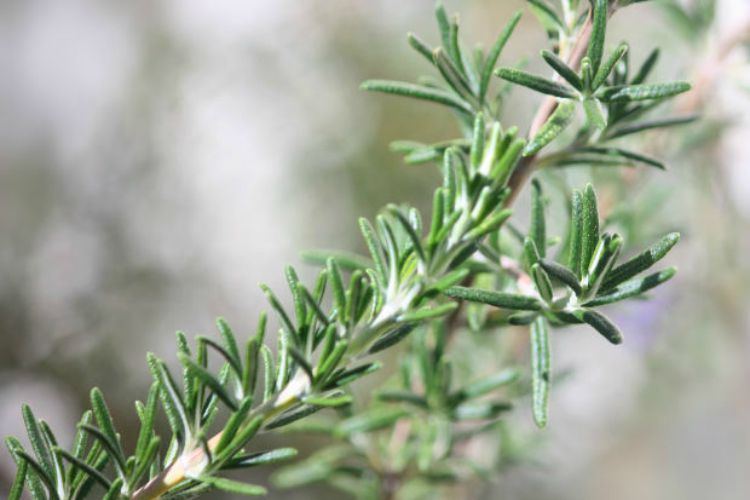 Herbal Support for Back to School: Rosemary