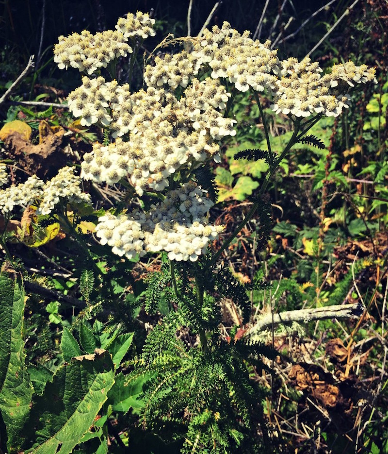 10 Tips for Wildcrafting Medicinal Herbs   Herbal Academy   Wildcrafting medicinal herbs is a very rewarding practice for herbalists. Learn how to identify plants and make your herbal remedies with foraged herbs!