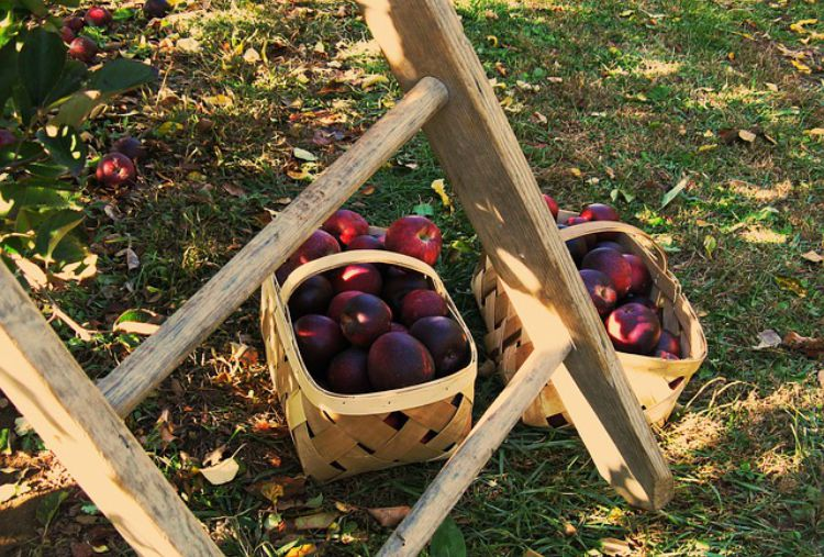 Harvest Time Apple Recipes: Health Benefits Of Apples