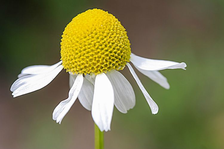 A Family Herb: Chamomile Flower Benefits